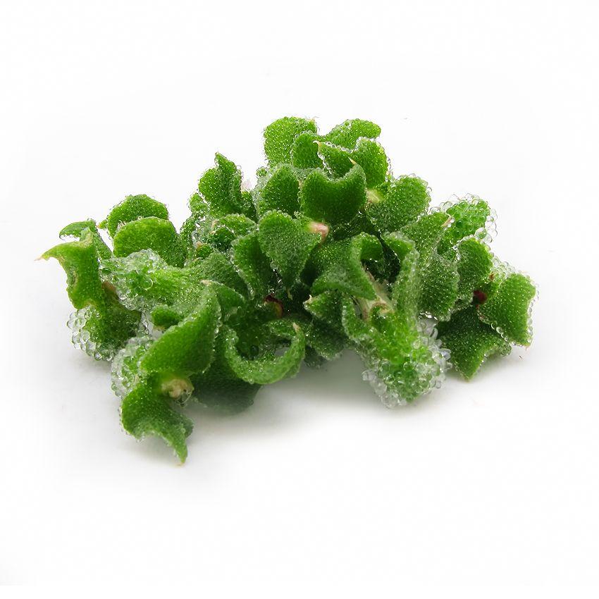 Blinq blossom - Zioła cięte, warzywa, grzyby, owoce egzotyczne i przyprawy Freshmint Łódź